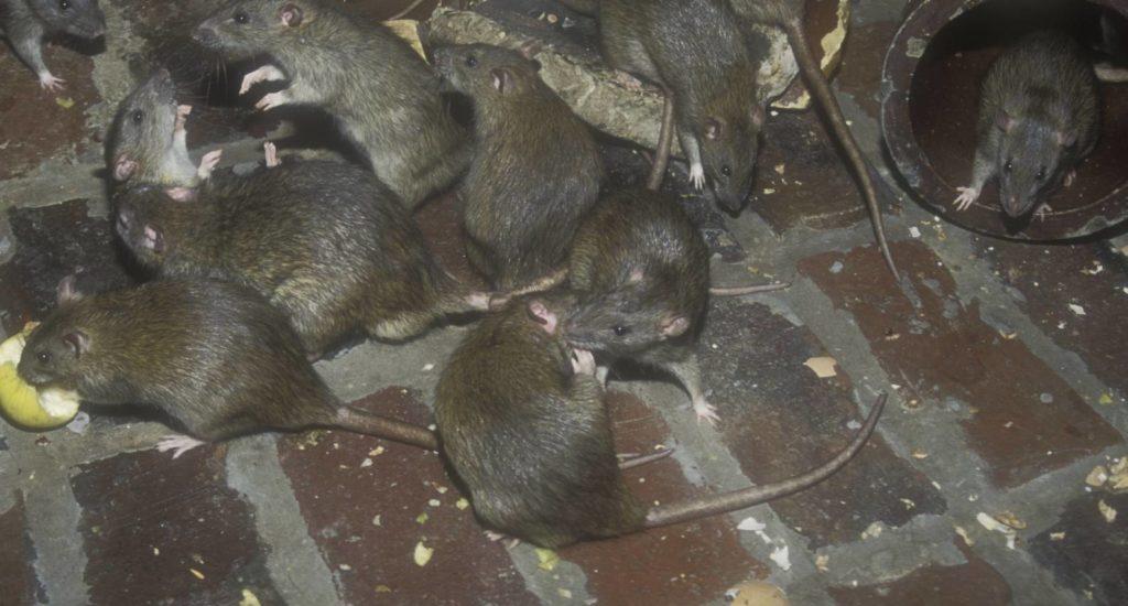 уничтожение крыс в Ахтубинске