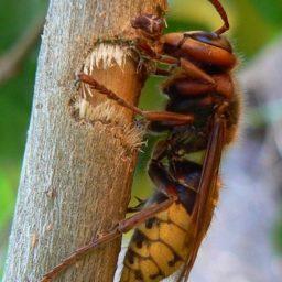 Уничтожение шершней в Ахтубинске